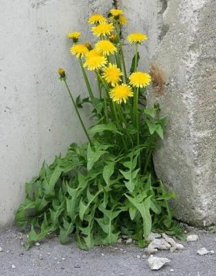garden-dandelion-weeds