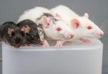 chimera-rats